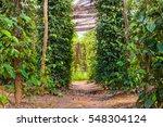 black pepper plants on an...