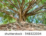 The Banyan Tree In The Park