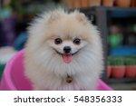 pomeranian dog stands on a... | Shutterstock . vector #548356333