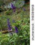 Flowers In The Garden. Lobelia...