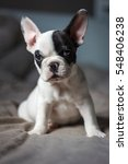 Stock photo a cute french dog puppy 548406238