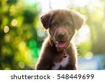 Stock photo brown adorable nova scotia duck tolling retriever puppy dog portrait looking at the camera 548449699