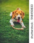 Beautiful Beagle Dog Outdoors...