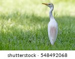 Cattle Egret Back View