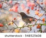 Female Blackbird Sitting...