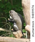 De Brazza's Monkey Animal