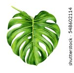 tropical leaf of monstera. hand ... | Shutterstock . vector #548602114