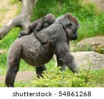 Stock photo close up of a cute baby gorilla and mother 54861268