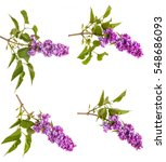 flowering branch of lilac.... | Shutterstock . vector #548686093