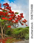 "Small photo of Flamboyant tree in ""Puerta Ayora"", Galapagos Islands"