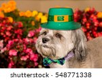 Small photo of Shiz Tsu Dog isolated in front of flowere garden wearing a St. Patrick's Hat and bow tie.