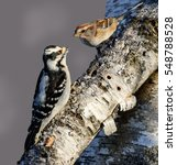 Small photo of Female Downy Woodpecker and American Tree Sparrow in Winter