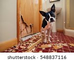 a tiny boston terrier puppy... | Shutterstock . vector #548837116