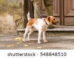 Stock photo dog fox terrier on a leash 548848510