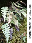 Common Polypody And Button Fer...