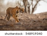 young tiger female is creeping... | Shutterstock . vector #548919340