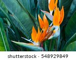 exotic tropical flower... | Shutterstock . vector #548929849