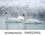 mute swan  cygnus olor  winter  ... | Shutterstock . vector #549022903