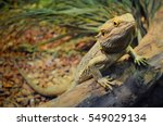 One Young Bearded Dragon In A...