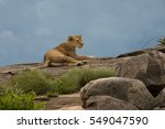Lioness Resting On The Rocks