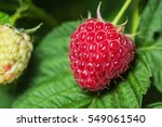 Raspberries. Growing Organic...