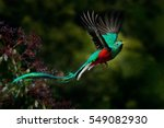 Stock photo flying resplendent quetzal pharomachrus mocinno savegre in costa rica with green forest in 549082930