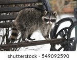 The Raccoon With A Striped...