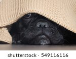 Stock photo the dog s nose peeping from under the blanket 549116116