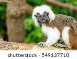 A Cotton Top Tamarin Monkey