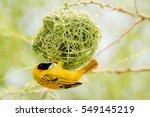Yellow Bird In Nest
