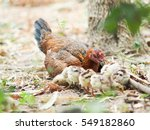 brown hen with her own small... | Shutterstock . vector #549182860