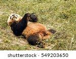 Panda Bear Snacking Bamboo
