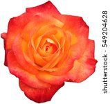 Orange Rose Isolated On White...
