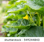 Cucumber Yellow Flower And...