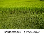 Small photo of animate golden rice field
