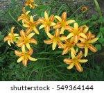 Bush Of Orange Striped Lilies...