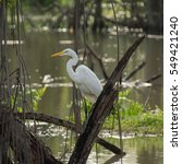 Small photo of A white heron sits on a broken tree, with neck relaxed and curved in a swampy pond reflecting the green colors all around it.