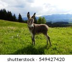 Young Donkey At The Alps ...