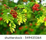 berries of a red rowan against... | Shutterstock . vector #549435364