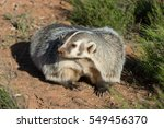 Small photo of close up portrait of an American badger adult with red dirt background