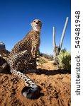 Small photo of cheetah, acinonyx jubatus, South Africa
