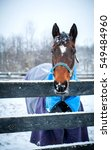 Senior Bay Warmblood Mare...
