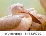 Portratit Of A Pelicans  Rosy...