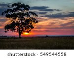 Large Gum Tree At Sunset...