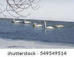 St. Croix River, Wild River State Park Trumpeter Swans in early spring