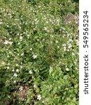 white flower in flower field   Shutterstock . vector #549565234