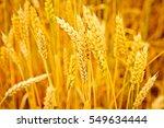 grain field.backdrop of...   Shutterstock . vector #549634444
