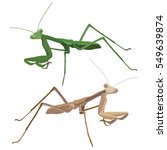 praying mantis isolated close... | Shutterstock .eps vector #549639874