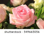 Big Pink Rose With Water Drops...