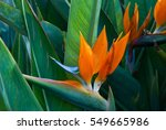 exotic tropical flower... | Shutterstock . vector #549665986